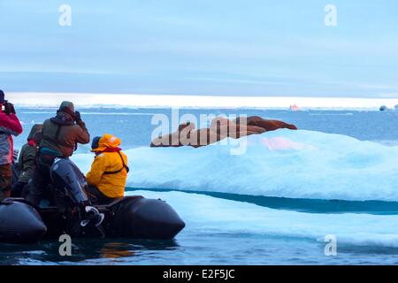 Russia Chukotka autonomous district Wrangel island Pack ice Pacific walrus (Odobenus rosmarus divergens) resting - Stock Photo