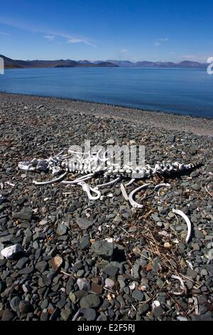 Russia, Chukotka autonomous district, Yttygran Island, Skeleton of Pacific walrus (Odobenus rosmarus divergens) - Stock Photo