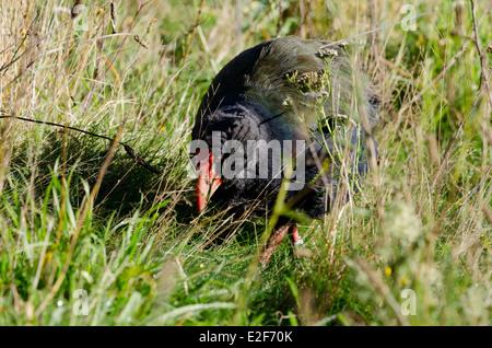 New Zealand, Wellington. Zealandia, Karori Sanctuary. South Island Takahe (Porphyrio hochstetteri) bird. - Stock Photo