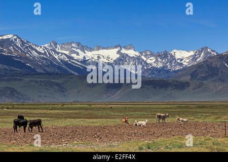 United States California Eastern Sierra Nevada meadow with cows near Bridgeport the Sawtooth Ridge in the Sierra - Stock Photo