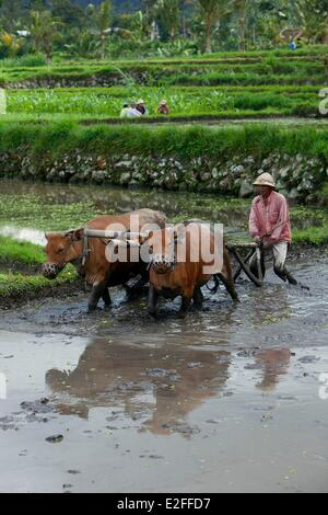 Indonesia, Bali, Mount Agung area, Geriana Kauh village, work in the rice fields - Stock Photo