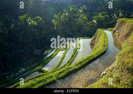 Indonesia, Bali, near Ubud, Tegalalang, rice field - Stock Photo