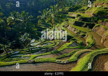Indonesia, Bali, near Ubud, Tegalalang, rice field - Stock Photo