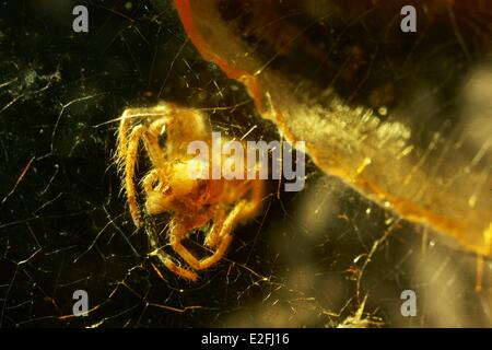 France Paris Museum National d'Histoire Naturelle Arachnology Laboratory Spider (2 mm) in Yellow amber from the - Stock Photo