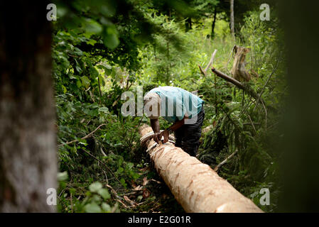 France Doubs Frasne forest Sanglier collects it straps of bark on a spruce tree for Mont d Or cheese the scale of - Stock Photo