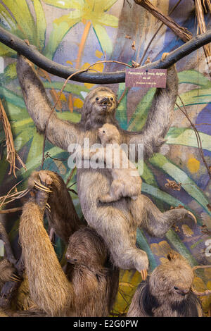 France Seine Maritime Rouen Museum of Natural History stuffed pale throated sloth (bradypus tridactylus)