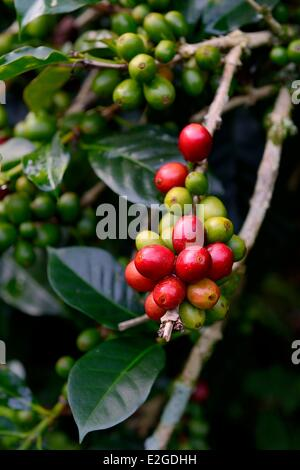 Panama Chiriqui province Boquete Coffee Plantation Finca Lerida catuai coffee beans - Stock Photo