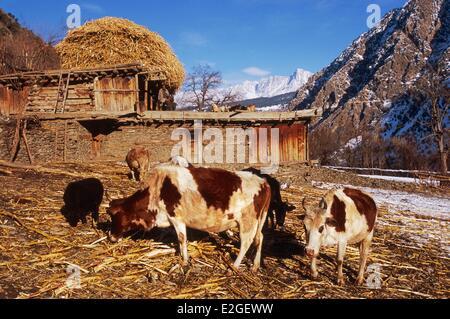 Pakistan Khyber Pakhtunkhwa Kalash valleys Bumburet valley Krakal village (2150m) cows before cowshed in winter - Stock Photo
