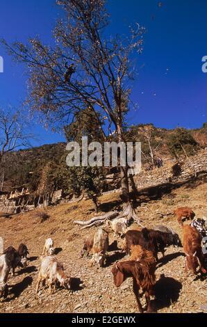 Pakistan Khyber Pakhtunkhwa Kalash valleys Bumburet valley Krakal village (2150m) goats grazing at foot of a holm - Stock Photo