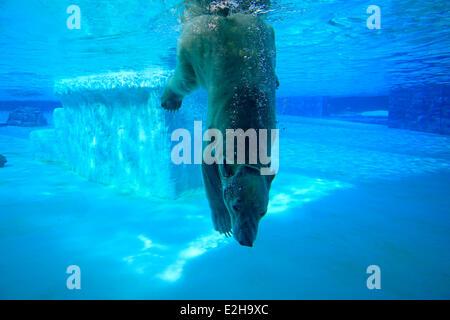 Polar Bear (Ursus maritimus) adult, submerged in water, Singapore Zoo, Singapore - Stock Photo