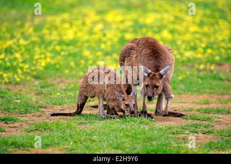 Kangaroo Island Kangaroos (Macropus fuliginosus fuliginosus), female with joey, South Australia, Australia - Stock Photo