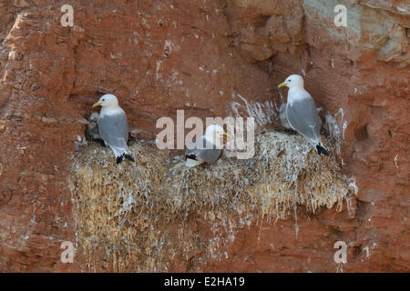 Black-legged Kittiwakes or Kittiwake Gulls (Rissa tridactyla), Heligoland, Schleswig-Holstein, Germany - Stock Photo