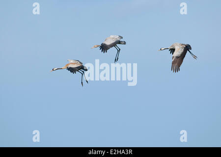 Common Cranes (Grus grus), two adult birds and a young bird, about to land, Mecklenburg-Western Pomerania, Germany - Stock Photo