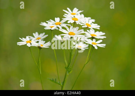 Ox-eye Daisies (Leucanthemum vulgare), flowers, Thuringia, Germany - Stock Photo