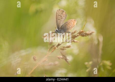 Common Blue (Polyommatus icarus), Thuringia, Germany
