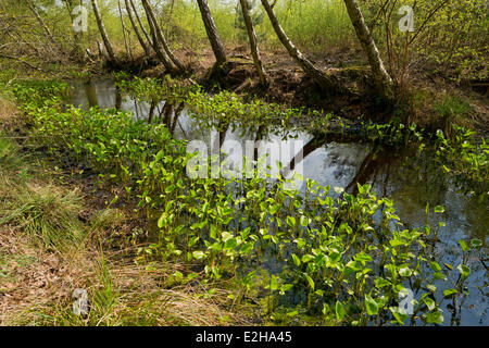 Bog Arum (Calla palustris), leaves, Großes Moor nature reserve, Lower Saxony, Germany - Stock Photo