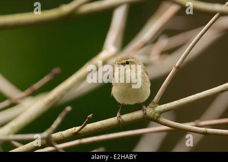 Chiffchaff in the bushes, zilpzalp im gebüsch - Stock Photo