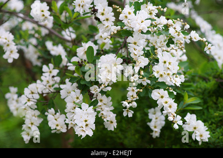 Pearl bush pearlbush white blossom Exochorda korolkovii - Stock Photo