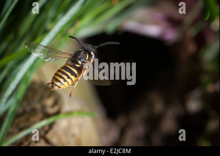 Common wasp, Vespula vulgaris, in a garden in Exeter, Devon, UK. - Stock Photo