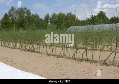 A field of organic green asparagus plants growing at Lilla Bjers farm in Gotland, Sweden - Stock Photo