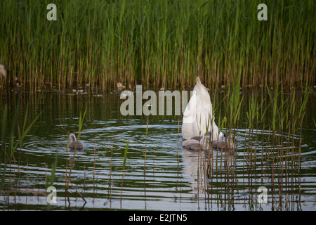 Swan looking for food with cygnets - Stock Photo