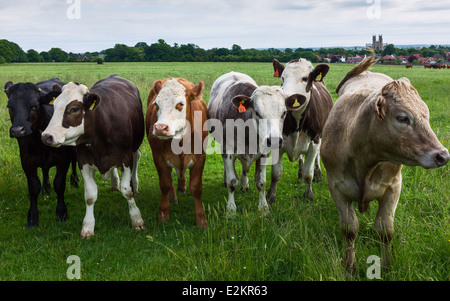 Cows graze on unrestricted open pasture on Westwood on June 20, 2014 in Beverley, Yorkshire, UK. - Stock Photo