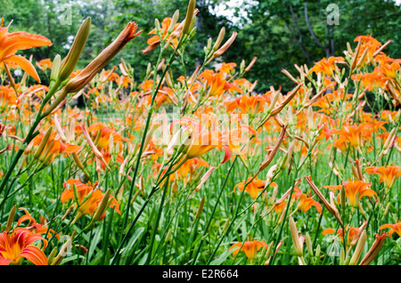 Orange lily flowers lilies in garden outdoor - Stock Photo