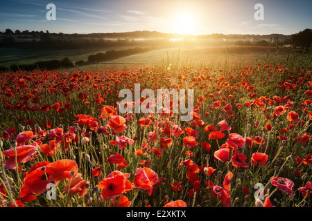 Summer solstice sunrise over one of the poppy fields at Blackstone nature reserve near Bewdley. - Stock Photo