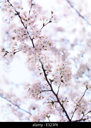 Closeup of cherry blossoms, blooming Japanese cherry tree flowers artistic background - Stock Photo