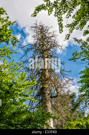 Dead Tree From Bark Beetle In Old Forest - Stock Photo