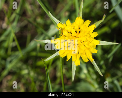Tragopogon pratensis,  Meadow Salsify close up of yellow flower with insects - Stock Photo
