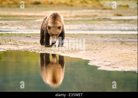 A coastal brown bear / grizzly bear walks a meandering shoreline in search of food scraps in Katmai National Park, - Stock Photo