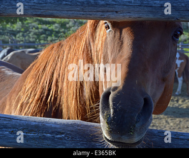 Close-up portrait of a white horse in a corral in Jackson Hole, Wyoming - Stock Photo