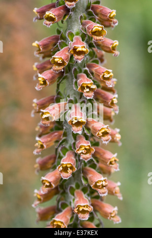 Digitalis parviflora. Small flowered foxglove. - Stock Photo