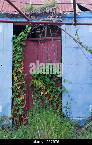 An old blue metal shed with a corrugated roof and red wooden door in Katelios is covered by a creeper. - Stock Photo