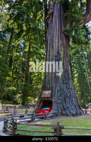 Giant Redwood. Car driving through the Chandelier Drive-thru Tree in Leggett, California Redwoods, Northern California, - Stock Photo