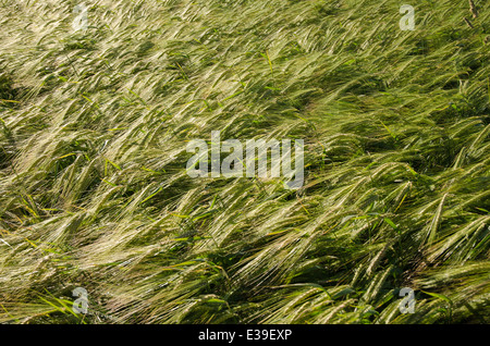 Background of fresh and sunlit barley corn field - Stock Photo