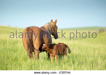 Foal, Pullman, Washington - Stock Photo