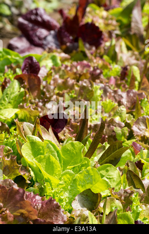 Lettuces growing on a farm in Oregon's Wallowa Valley. - Stock Photo