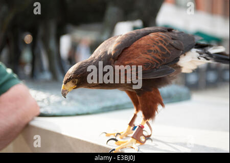 Paternoster Square, City of London, UK. 23rd June 2014. Harris Hawk with handler on patrol in the City keeping pigeons - Stock Photo