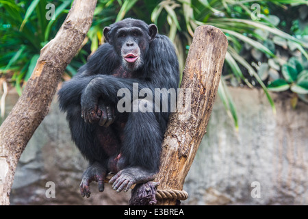 Western chimpanzee (Pan troglodytes verus) spending his time in a tree - Stock Photo