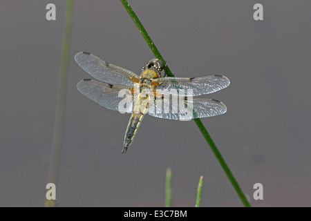 Four spotted Libellula quadrimaculata - Stock Photo