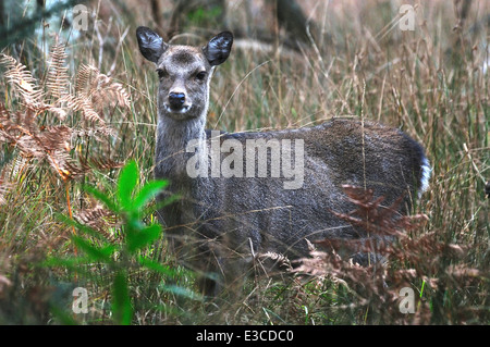 sika deer cervus nippon mammal mammals animal animals wild wildlife nature - Stock Photo