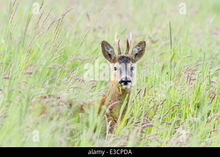 Young Roe buck feeding among tall grass in a meadow, Norfolk, England - Stock Photo