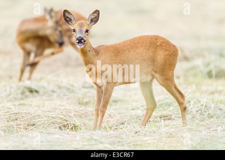 A playful young Roe doe chews a stalk while her companion buck grooms himself in the background, Norfolk, England - Stock Photo