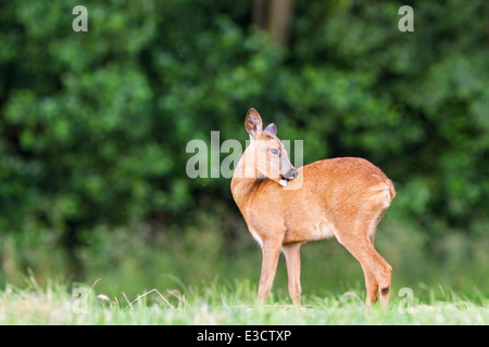 Young female Roe deer grooming herself in a meadow during the summer rut, Norfolk, England - Stock Photo