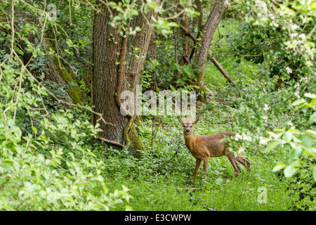 A young Roe buck exploring woodland habitat, Norfolk, England - Stock Photo