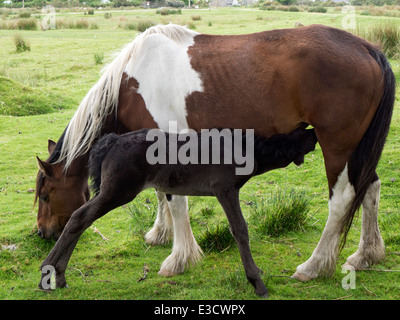 Mare and Foal on Bodmin Moor - Stock Photo