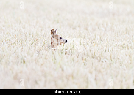 A female Roe deer hides in an arable field during the Roe deer's annual rut in the summer, Norfolk, England - Stock Photo