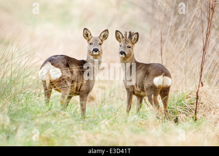A Roe doe and her companion buck feed in a pasture during springtime, Norfolk, England - Stock Photo